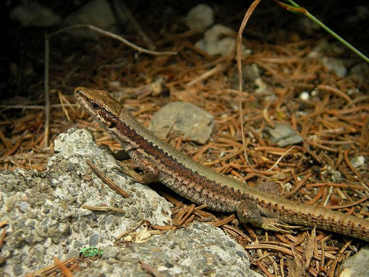 Horvath's Rock Lizard (Iberolacerta horvathi), Carinthia, Austria, July 2010