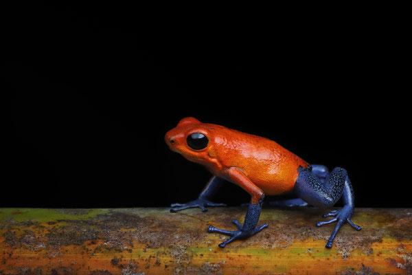 "Strawberry Poison Dart Frog (Oophaga pumilio) ""blue jeans"""