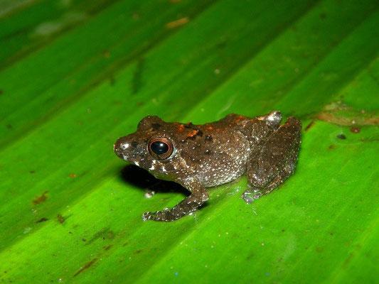 Marti's rain frog (Pristimantis martiae)