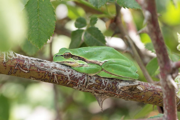 Arabian Tree Frogs (Hyla felixarabica)