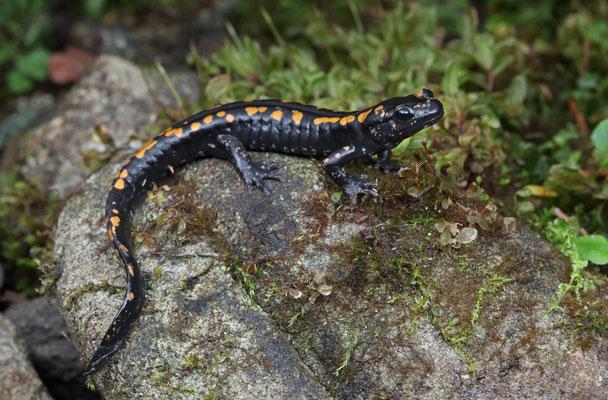 Teeny Caucasian Salamander (Mertensiella caucasica)