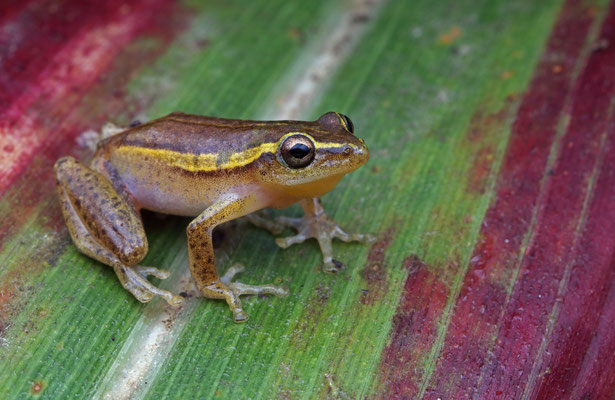 Cinnamon-bellied Reed Frog (Hyperolius cinnamomeoventris) male