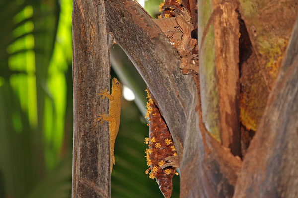 Giant Bronze Geckoes (Ailuronyx trachygaster) like to rest in close vicinity to their main source of food, the male flowers of Coco de Mer palms.