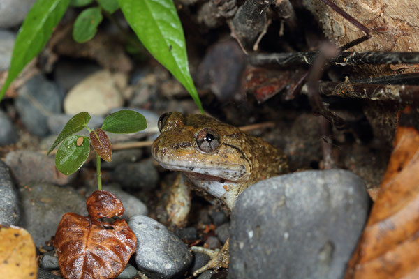 Kuhl's Creek Frog (Limnonectes kuhlii)