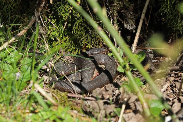 Adder (Vipera berus) basking