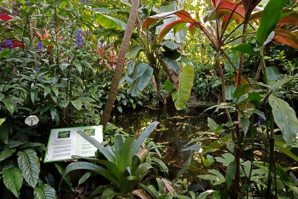 Golden-eyed Leaf Frog habitat