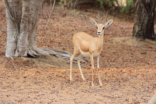 Arabian Gazelle (Gazella gazelle cora)