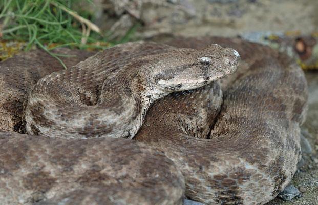 Blunt-nosed Viper (Macrovipera lebetina) adult