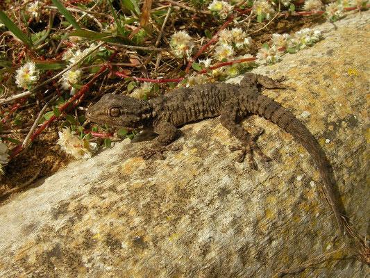 Moorish Gecko (Tarentola mauritanica), Carrapateira, Portugal, February 2016