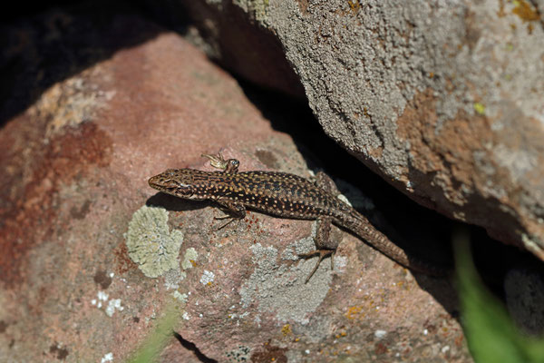 Armenian Lizard (Darevskia armeniaca)