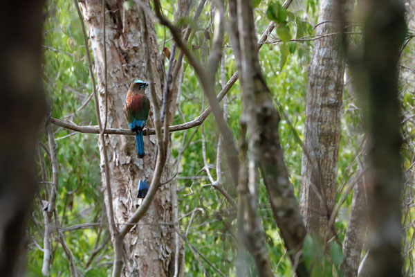Turquoise-browed Motmot (Eumomota superciliosa)