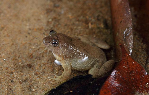 Sumatran Puddle Frog (Occidozyga sumatrana)