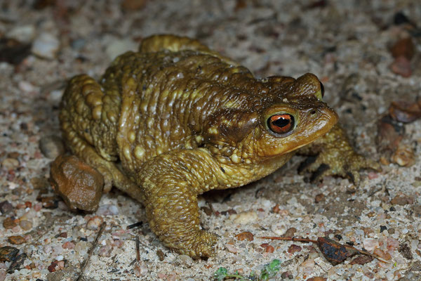 Spiny Toad (Bufo spinosus)