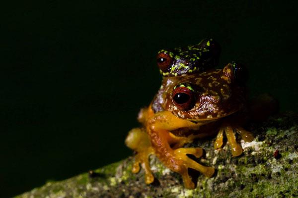 Copan Brook Frog (Duellmanohyla soralia) in amplexus. © Wouter Beukema