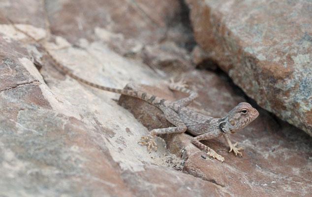 Oman Rock Agama (Pseudotrapelus jensvindumi)