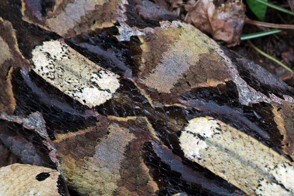 Stunning dorsal pattern of Gaboon Viper (Bitis gabonica)
