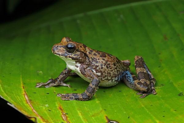 Drab Streamside Tree Frog (Smilisca sordida)