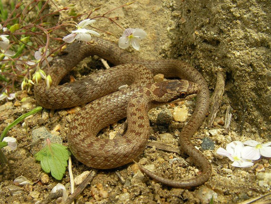 Smooth Snake (Coronella austriaca) juvenile, Rize, Turkey, April 2015