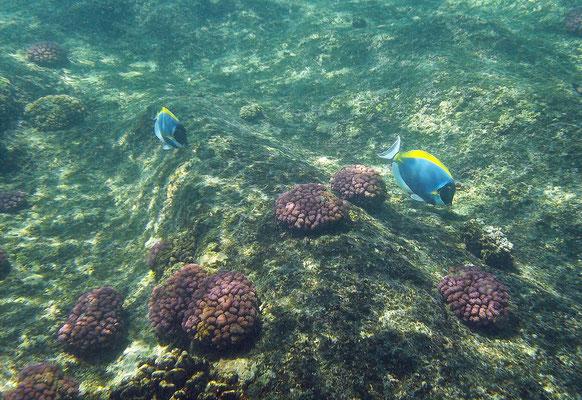 Powderblue Surgeonfish (Acanthurus leucosternon)