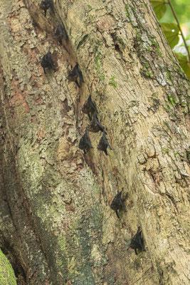 Greater Sac-winged Bat (Saccopteryx bilineata) © Jasper Boldingh