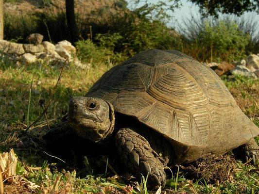 Spur-thighed Tortoise (Testudo graeca ibera), Dalyan, Turkey, July 2009