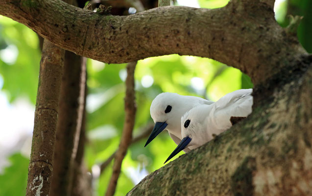 Fairy Terns (Gygis alba) resting in the trees.