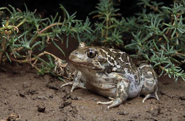Eastern Spadefoot Toads (Pelobates syriacus)