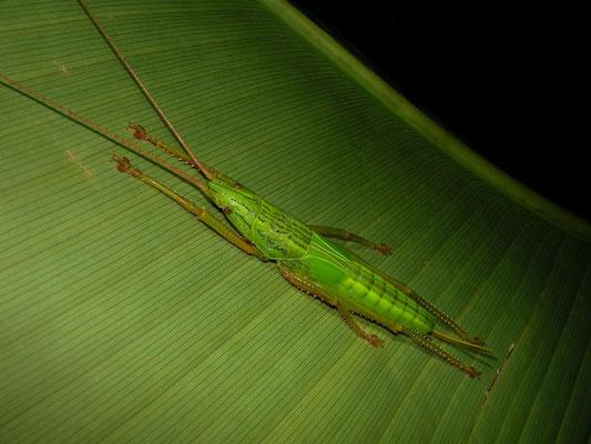 Seychelles Giant Palm Cricket (Odontolakis sexpunctata)