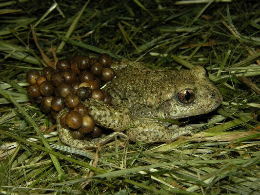 Common Midwife Toad (Alytes obstetricans) with eggs