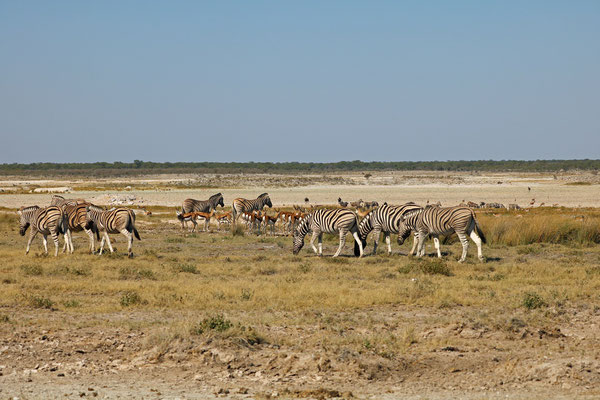 Mixed herd of Springbok and Zebra.