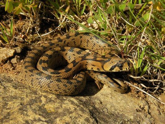 Ladder Snake (Rhinechis scalaris) juvenile, Carrapateira, Portugal, February 2016
