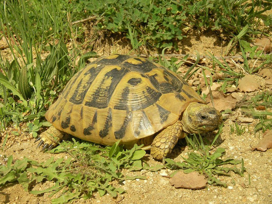 Hermann's Tortoise (Testudo hermanni), Volvi, Greece, May 2012