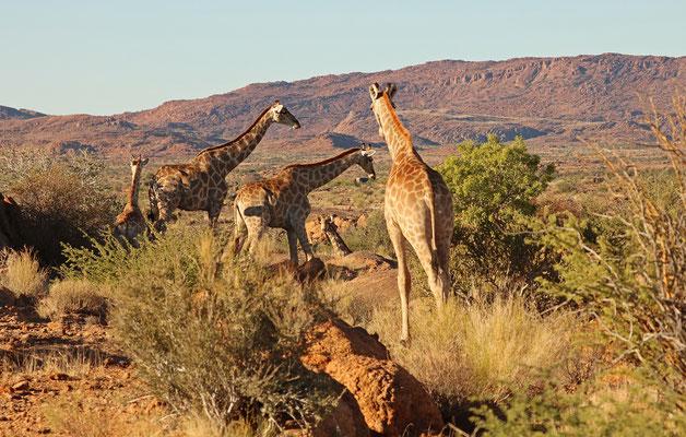 Herd of Southern Giraffes (Giraffa giraffa).