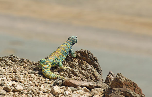 Ornate Spiny-tailed Lizard (Uromastyx ornata) on the look-out.