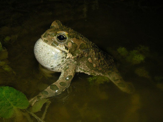 Green Toad (Bufotes viridis) calling male