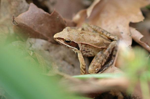 Agile Frog (Rana dalmatina)