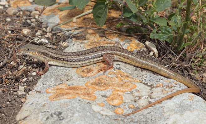 Schneider's Skink (Eumeces schneideri) with the typical long tail.