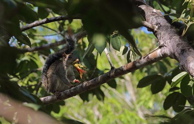 Yucatán Squirrel (Sciurus yucatanensis)