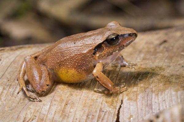 Polymorphic Robber Frog (Craugastor rhodopis) © Wouter Beukema