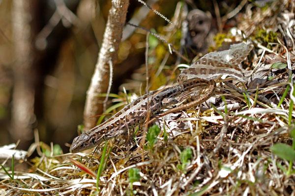 Sand Lizard (Lacerta agilis) female in shed.