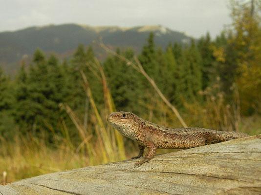 Viviparous Lizard (Zootoca vivipara), Brasov, Romania, October 2014