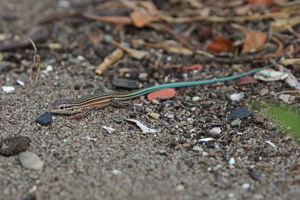Deppe's Racerunner (Aspidoscelis deppii) juvenile