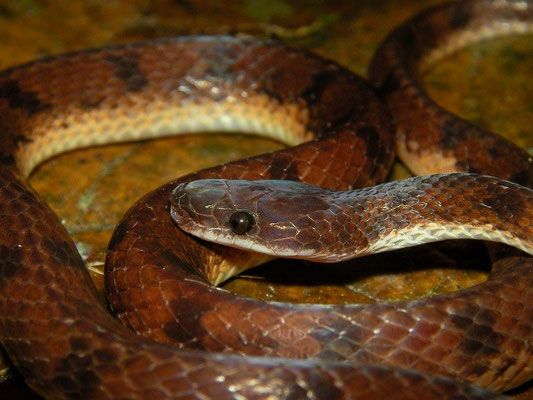 flat-headed snake (Xenopholis scalaris)