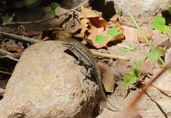 Anatolian Rock Lizard (Anatololacerta anatolica aegea), Samos, Greece, July 2015