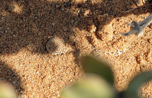 Namib Dwarf Adder (Bitis peringueyi) as found