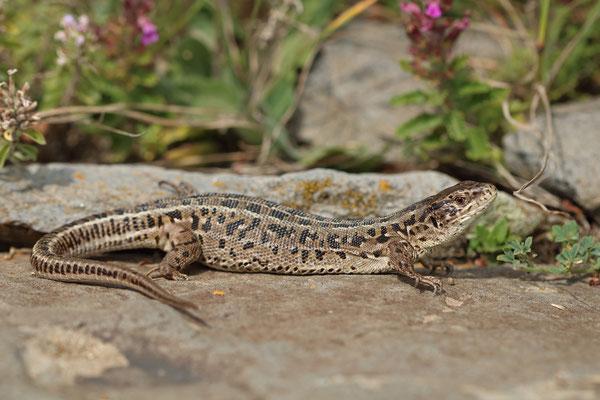Sand Lizards (Lacerta agilis brevicaudata) female
