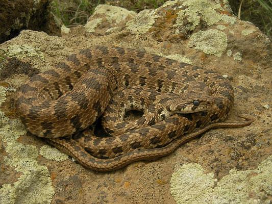 Spotted Whip Snake (Hemorrhois ravergieri)