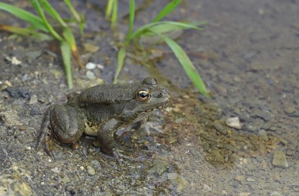 Levant Water Frog (Pelophylax bedriagae cerigensis)