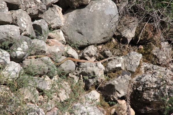 In-situ shot of Dahl's Whip Snake (Platyceps najadum). © Kyra Hooijschuur