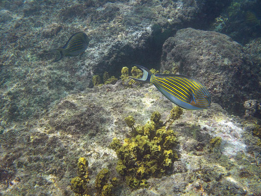 Blue-lined Surgeonfish (Acanthurus lineatus)